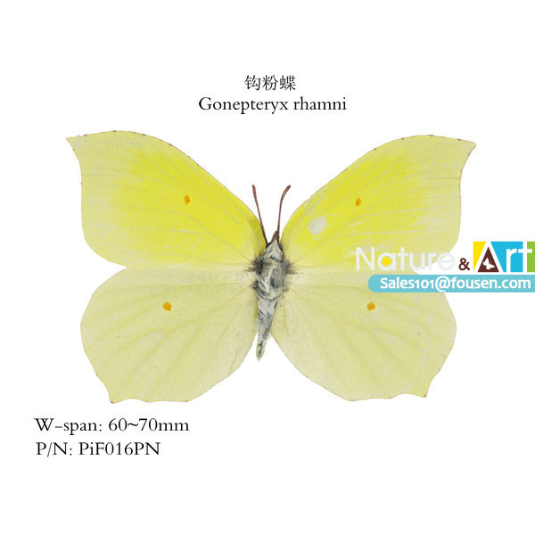 FOUSEN Nature&Art Gonepteryx rhamni Parantica sita triangle paper bag insect(China (Mainland))