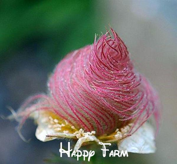 100 seeds/bag Prairie Smoke seeds, bonsai potted rare flower seeds, semillas de flores plants for DIY Home & Garden * GIFT(China (Mainland))