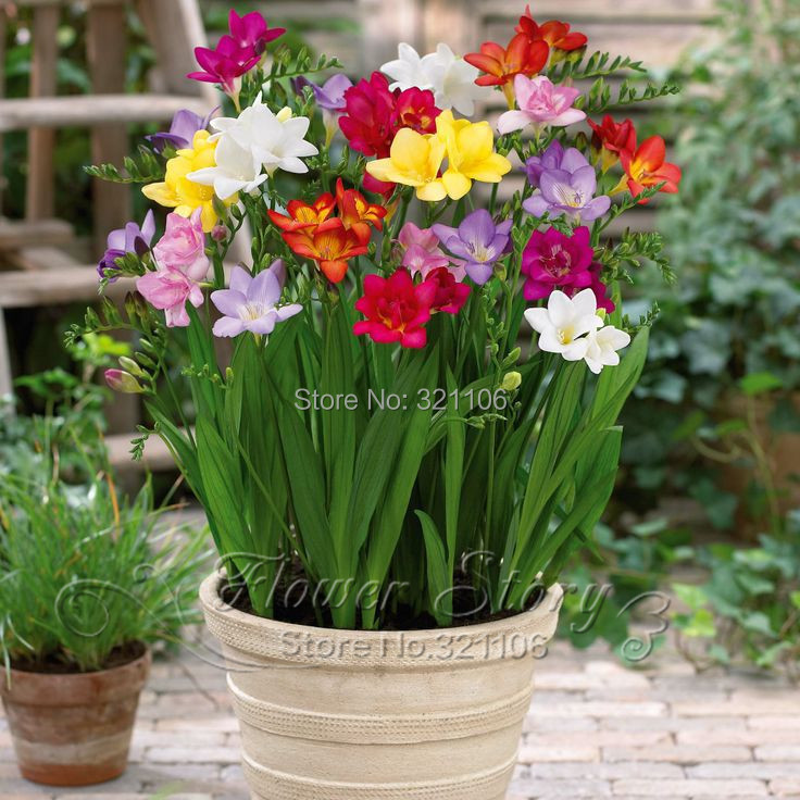 100 Freesias seeds , gorgeous DIY garden colorful & fragrant flower plant ,ideal decorative flower(China (Mainland))