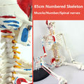 CMAM SKELETON04 85cm Skeleton Model with Muscle Painted for Medical Science Best Gift for Orthopaedist