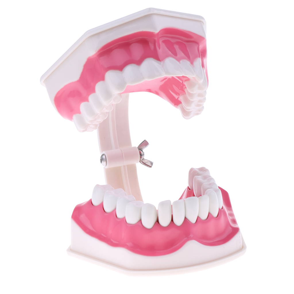 2X PVC Material Large Human Teeth Model with Toothbrush Teeth Dentist Classroom Lab Teaching Tools Student Educational Toys