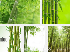 Promotion Free shipping 50 +fresh giant moso bamboo seeds for DIY home garden Household items tree bamboo Novel Seed(China (Mainland))