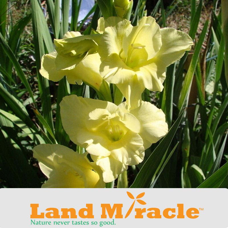 50 Seeds/pack, Gladiolus Seeds, Perennial Gladiolus Flower, The Sun Bright Yellow Sword Lily Seeds #A273(China (Mainland))