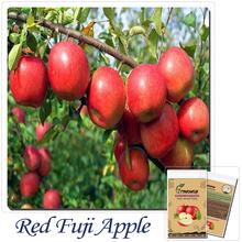 20 Red Fuji Apple, Malus Domestica Tree Sweet Fruit Fresh Seeds(China (Mainland))