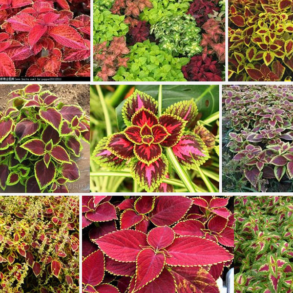 Hot selling common graden coleus outdoor potted flowering for Easy to care for outdoor flowering plants