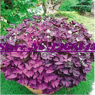 2pcs/original pack Oxalis triangularis ,Shamrock, Sorrel seeds (Bud Root) Bonsai potted plant DIY home garden free shipping(China (Mainland))