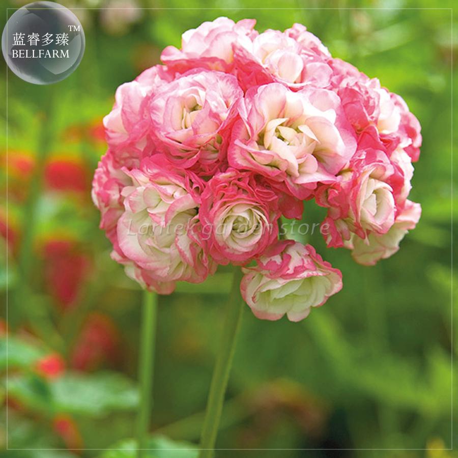 2018 Bellfarm Geranium Apple Blossom Rosebud Seeds Professional