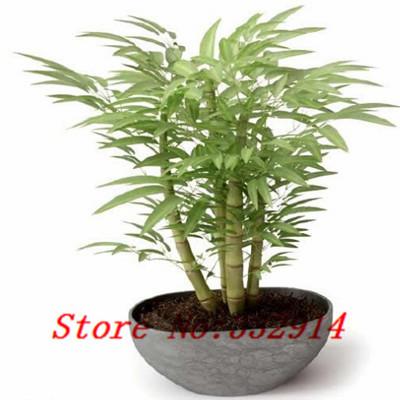 Acquista 39 39 hot 50 pz gigante semi di for Semi bambu gigante