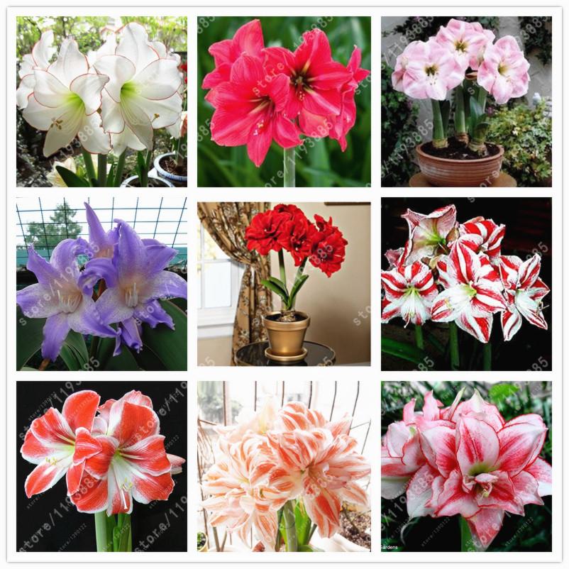 Compra bulbos de azucena online al por mayor de china for Amaryllis jardin