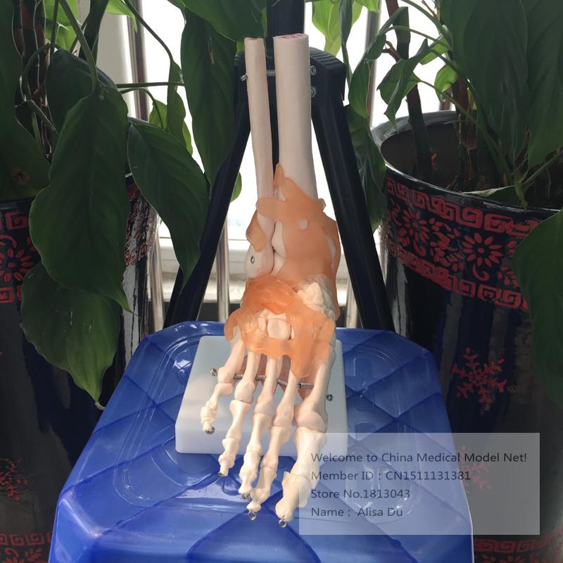 Ligament Model Ligament Model,ligaments