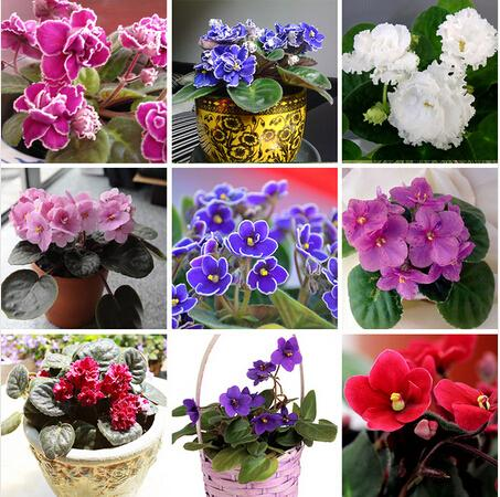 Hot Sale Variety Colors Violet Seeds Red Blue Purple White Violet Flowers Perennial Herb Matthiola Incana 100PCS(China (Mainland))