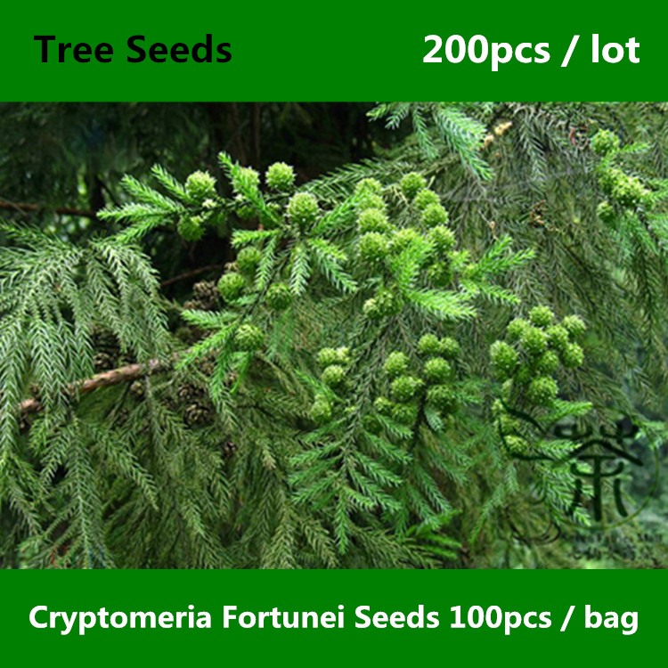 Buy evergreen trees cryptomeria fortunei - Arboles de jardin de hoja perenne ...