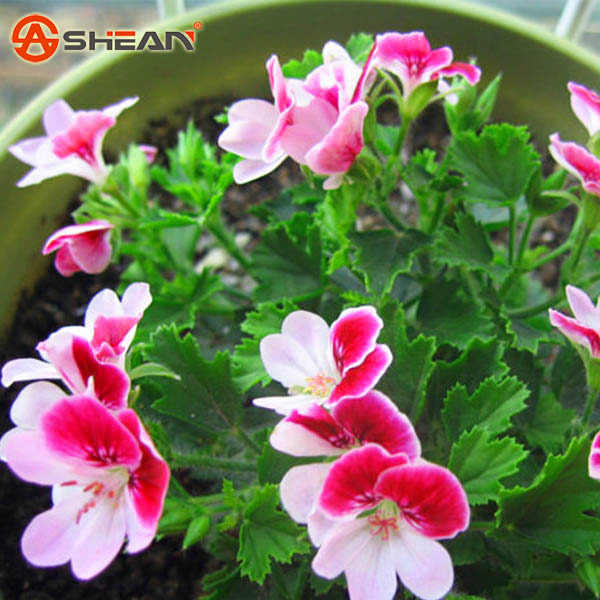 20 Pieces Bag Two color Red White Univalve Geranium Seeds Perennial Flower Seeds Pelargonium Peltatum Seeds