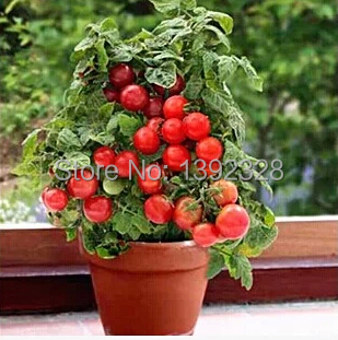 $0.99 1 Pack 20 seeds Red Pearl Tomato fruit vegetables - Adenium Obesum Seeds * 100% Guarantee store