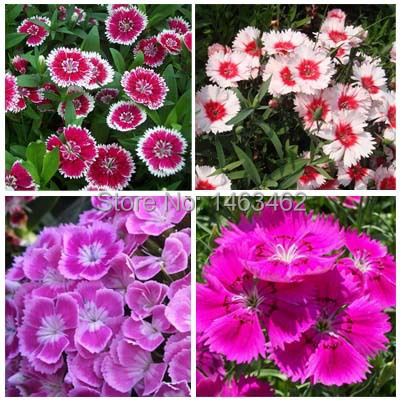 Garden Easy Grow plant bonsai Colorful carnations Flower Seeds (Mixed colors) 50 particles - Love life family store