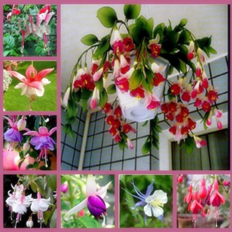 commentaires fuchsia plantes faire des achats en ligne commentaires fuchsia plantes sur. Black Bedroom Furniture Sets. Home Design Ideas
