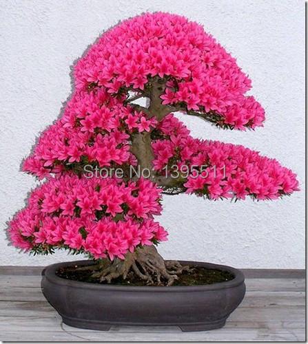10pcs/lot japanese sakura seeds ,bonsai flower Cherry Blossoms free shipping(China (Mainland))