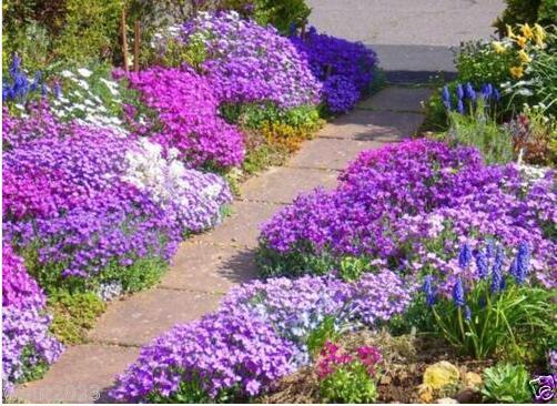 Rock Cress Seeds - Royal Mix (Aubrieta Hybrida) compact, ground cover garden decoration plant free shipping 50pcs P02(China (Mainland))