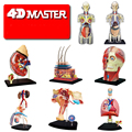 4D Master SKIN SECTION ANATOMY MODEL Anatomy Medical Human Head Kidney Skull Skeleton Model Science Educational