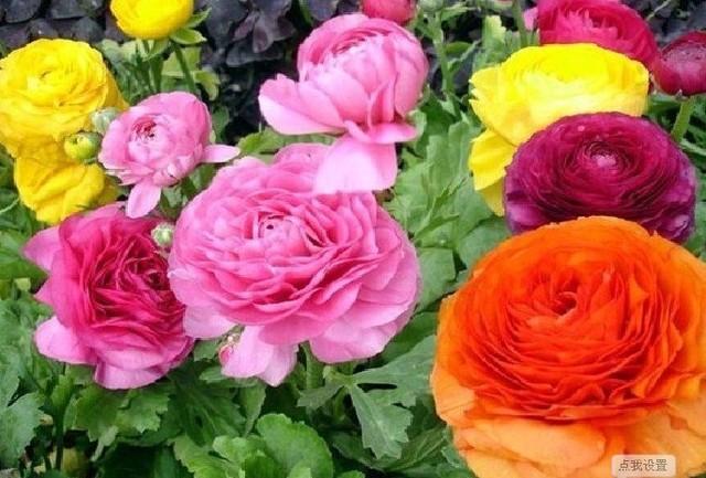 Mix order $5 Ranunculus asiaticus,Paeonia,Bonsai,buttercup , celery flowers free shipping Home & Garden