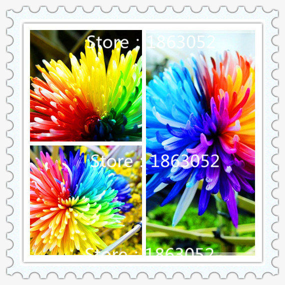 Free Shipping 200 Rainbow Chrysanthemum Flower Seeds rare color new arrival DIY Home Garden flower plant(China (Mainland))