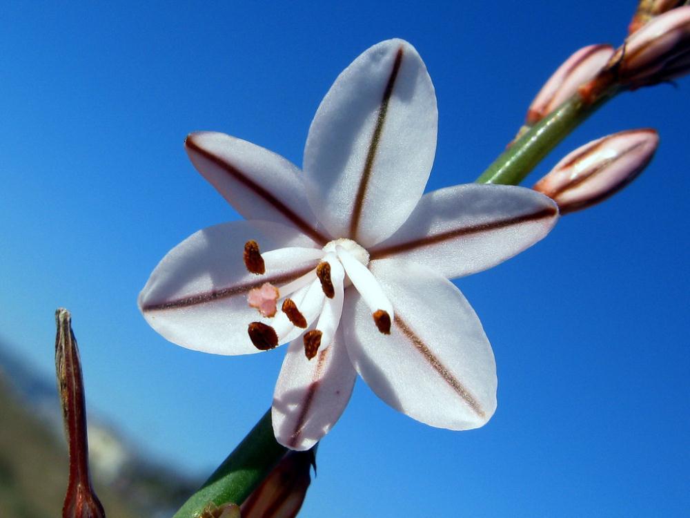 Seeds 60 Asphodelus fistulosus seeds suitable office, anti-radiation pot plants  -  flower store