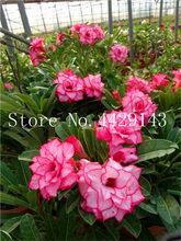 100% True Desert Rose Bonsai Ornamental Plants Balcony Bonsai Potted Flowers Drawf Adenium Obesum Bonsai -1 Particles/lot(China)