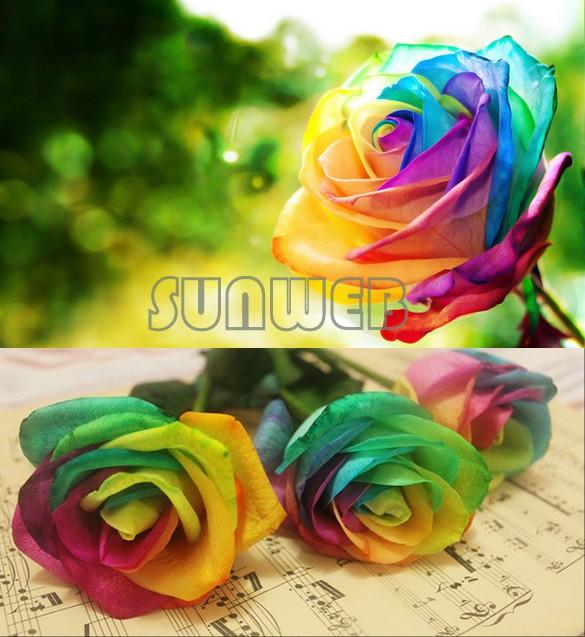 Perennials Beautiful Flowering Roses 500 Pcs Rose Seeds Colorful Colors SV16 SV003023(China (Mainland))
