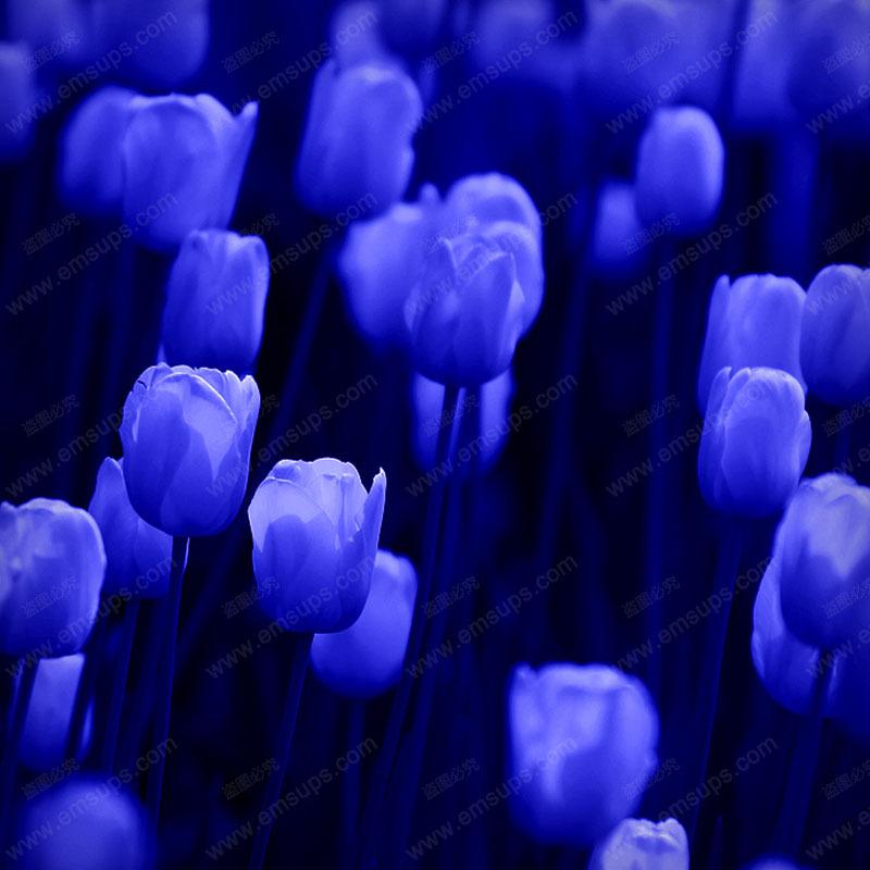 100pcs/bag Bonsai Tulip Seeds Rare Deep Blue Tulip Flower Seeds Home Garden Potted Plants(China (Mainland))