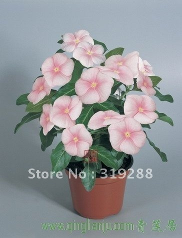 10pcs/bag pink Periwinkle flower Seeds DIY Home Garden