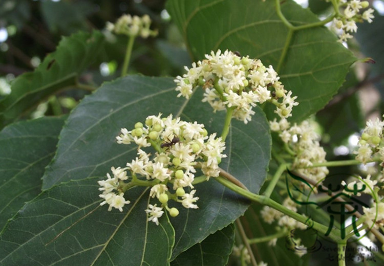how to grow hovenia dulcis from seed
