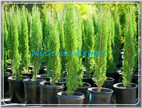 Acquista all 39 ingrosso online conifera piante da grossisti for Arboles jardin hoja perenne