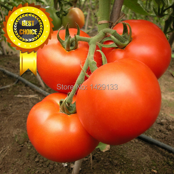 Free shipping 400pcs Red pear tomatoes vegetable seeds for DIY home garden Vegetable Beefsteak Tomato seeds Semillas de Tomate(China (Mainland))