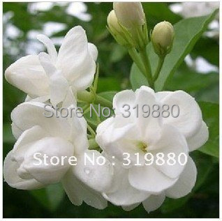 20pcs/lot package Jasmine seeds, fantanstic planting Flower seeds free shipping(China (Mainland))