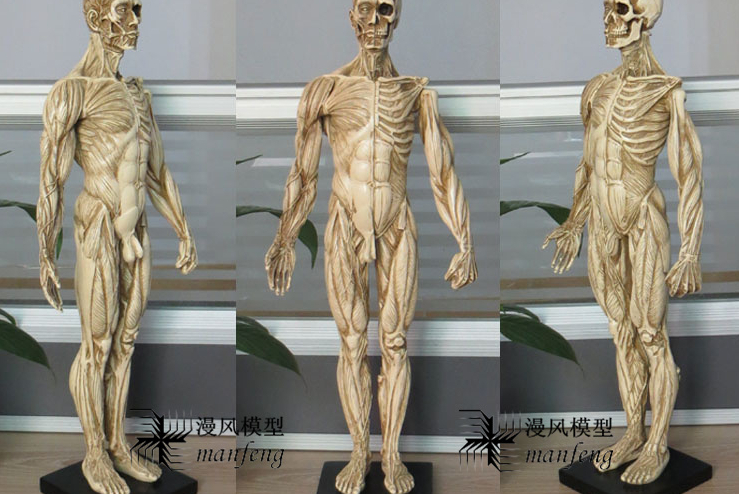 human body model painting with resin arts model of human musculoskeletal anatomy of the skull