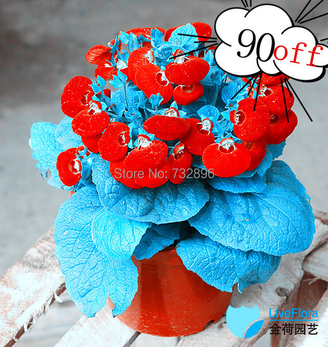 2014 Real Outdoor Plants Easy Seeds Sementes Calceolaria Skgs Flowering Indoor Bonsai - seed seeds store