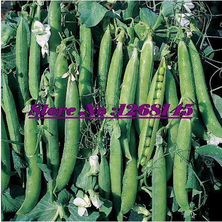 Hot selling 20pcs/original pack Pea 'Bingo',Pisum sativum seed flower bonsai plant DIY home garden free shipping C031(China (Mainland))