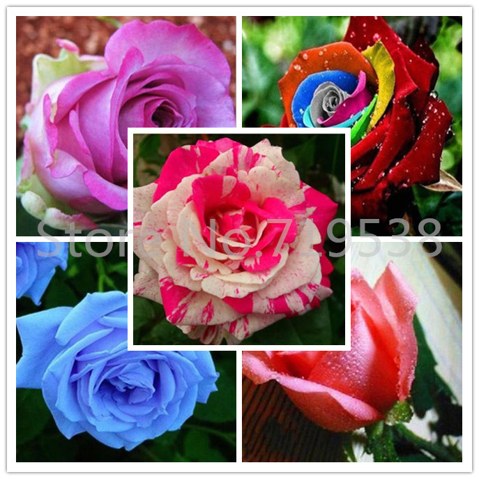 Professional Pack 100 seeds / pack Bonsai seed rose, Vary color for select Sweet Garden Rose Seed(China (Mainland))