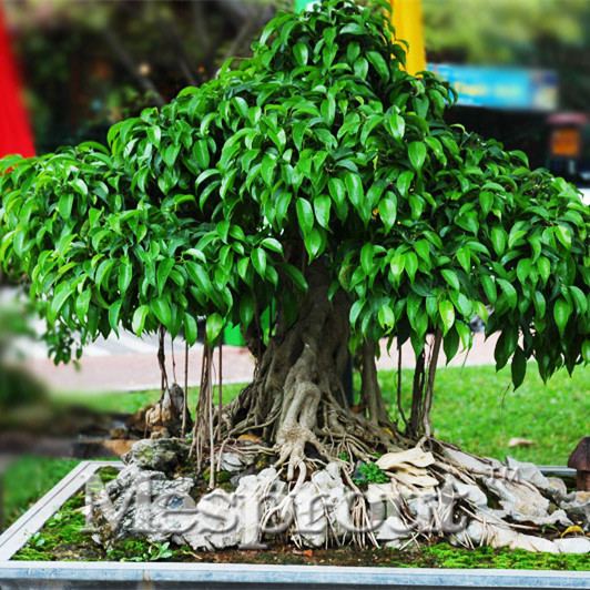 online kaufen gro handel ficus bonsai pflanze aus china ficus bonsai pflanze gro h ndler. Black Bedroom Furniture Sets. Home Design Ideas