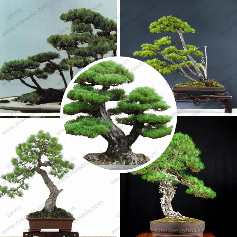 Perennial evergreen tree seeds Japanese pine bonsai tree seeds holly leaf pine seed 100 PCS bag