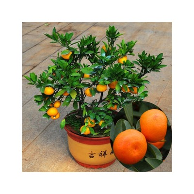 2016 hot sale 20pcs bag orange seeds decoration home for Fruit orange decoration