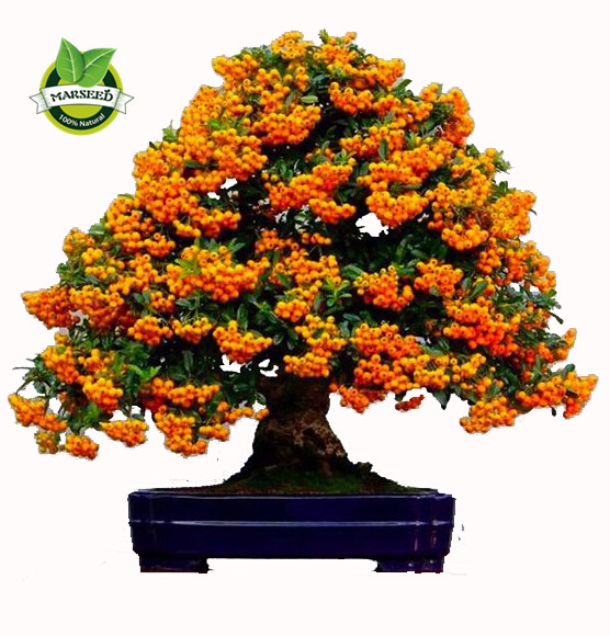 50 sea buckthorn seeds cold hardy hippophae rhamnoides fruit landscape bonsai easy to grow in - Growing sea buckthorn ...