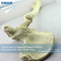CMAM TF03 Synthetic Bones Left Hip Joint with Femur SWABone Models Skeleton of Lower Limb