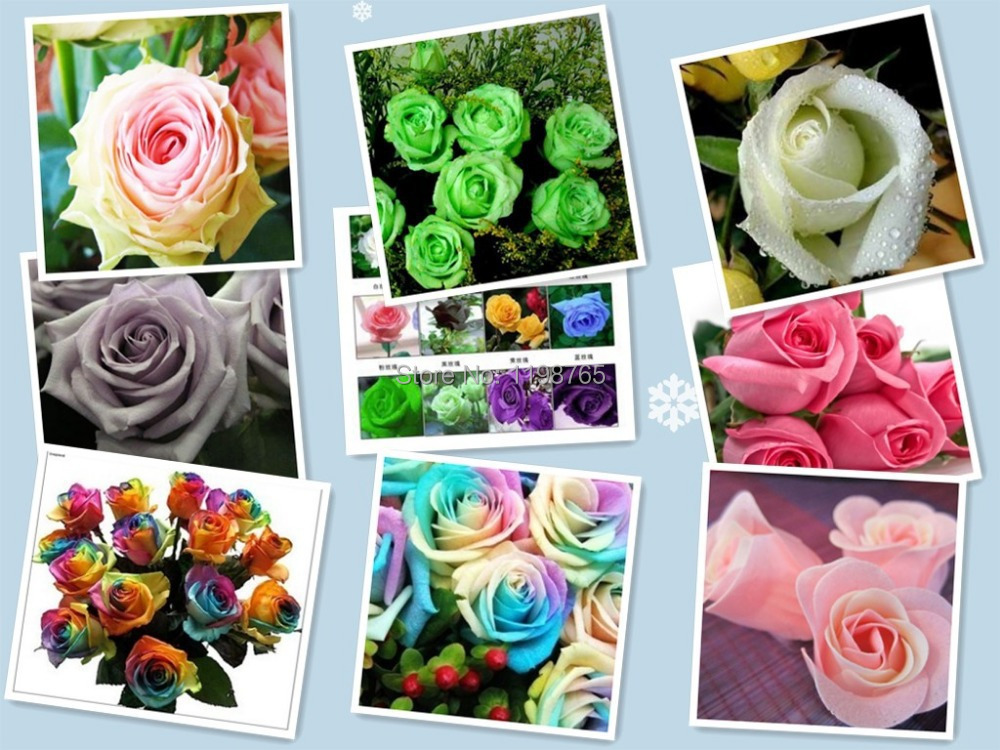 100pcsOn sale! 120pcs 12 colors Chinese Rose Seeds - Pink Black White Red Purple Green Blue multi-colored rainbow Rose flower Se(China (Mainland))