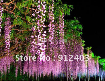 10 pcs (oem package)  purple Wisteria Flower Seeds DIY Home Garden or ur balcony