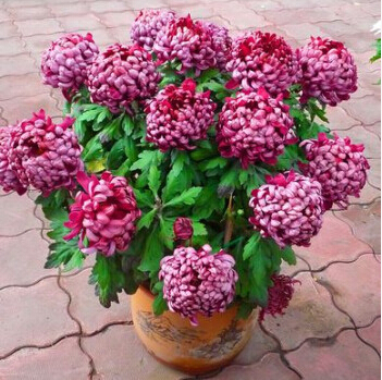 Perennial flower seeds potted chrysanthemum seedlings easy plant sown 3seasons Pink_2 - Vinda Trade store