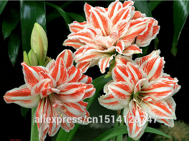 Amaryllis seeds, free shipping cheap Amaryllis seeds, Barbados lily potted seed, Bonsai balcony flower - 200 pcs/bag(China (Mainland))