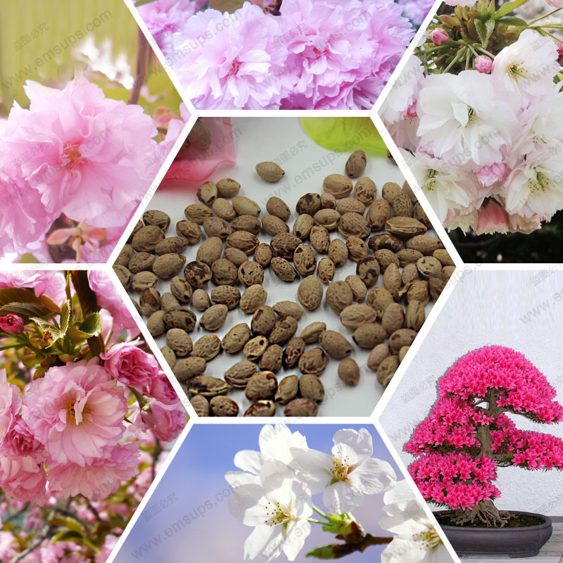 cherry tree seeds, pretty bonsai little plant, mini potted pink flower sakura seeds, 100% ture seed, 10 particles / bag(China (Mainland))
