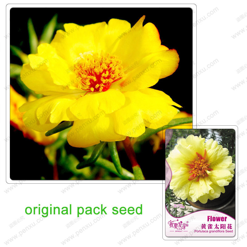 Original Pack 220 Seeds / Pack,Asparagus Peony seeds,yellow Portulaca grandiflora,potted Portulaca balcony(China (Mainland))