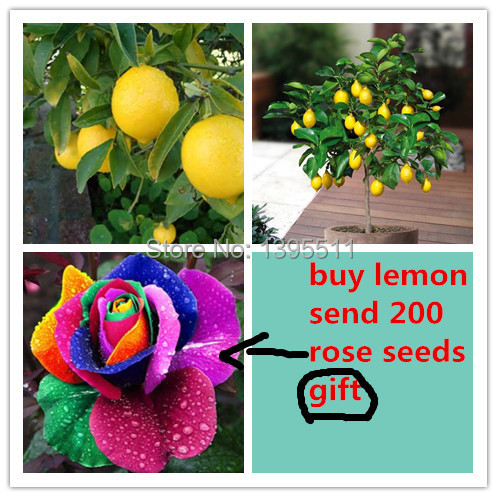 20 Lemon Tree Seeds,send 200 rainbow rose seeds as gift Bonsai Fruit Tree Seeds For Home Garden for Backyard(China (Mainland))
